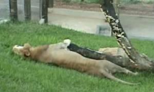Συγκινητικό βίντεο: Απελευθέρωσαν λιοντάρι μετά από 13 χρόνια αιχμαλωσίας σε τσίρκο