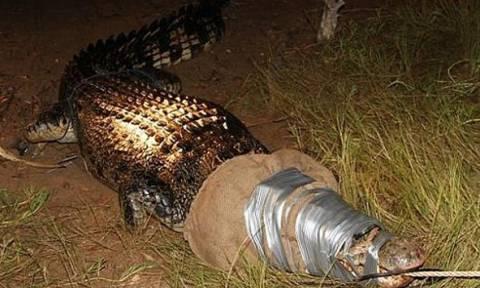 Αυστραλία:  Έτσι αιχμαλώτισαν γιγαντιαίο κροκόδειλο που έσπερνε το θάνατο! (video)