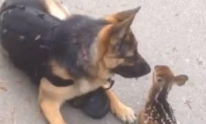 Σκύλος επέστρεψε από τη βόλτα παρέα με ένα ελαφάκι (video)