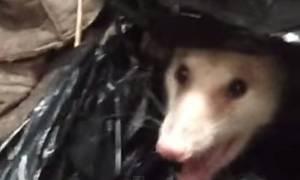 Τρόμος στην κουζίνα: Άγριο πόσουμ κρυβόταν στα σκουπίδια. Και δεν ήταν μόνο του! (video)