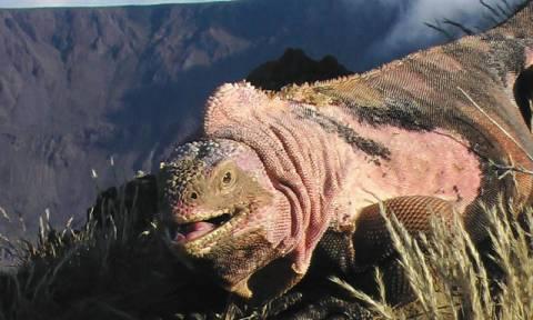 Γλύτωσαν από το ηφαίστειο τα ροζ ιγκουάνα των Γκαλαπάγκος
