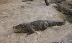 Τα γενέθλια του γηραιότερου κροκόδειλου στον κόσμο (video)
