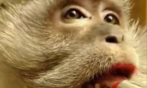Χαμός στο διαδίκτυο με τον πίθηκο που βάφεται σαν γυναίκα! (video)