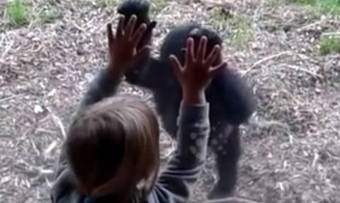 Η ξεχωριστή φιλία ενός μικρού κοριτσιού με ένα… γοριλάκι! (video)