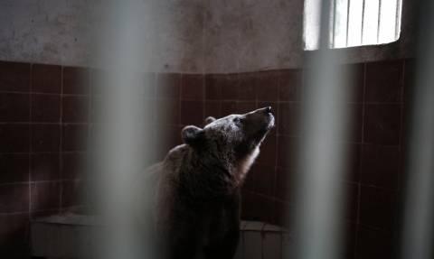 Θεσσαλονίκη: Επιτέλους ελεύθεροι οι λύκοι και οι αρκούδες