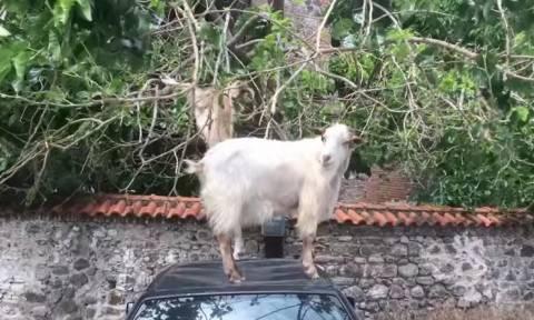 Κατσίκες – ταλιμπάν: Σκαρφαλώνουν σε αυτοκίνητο για ένα… μεζέ! (video)