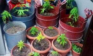 Λάρισα: Σύλληψη 33χρονου για καλλιέργεια κάνναβης (photo)