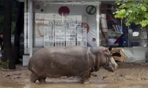 Ιπποπόταμοι, αρκούδες, τίγρεις και λιοντάρια στους δρόμους της Τιφλίδας (video)