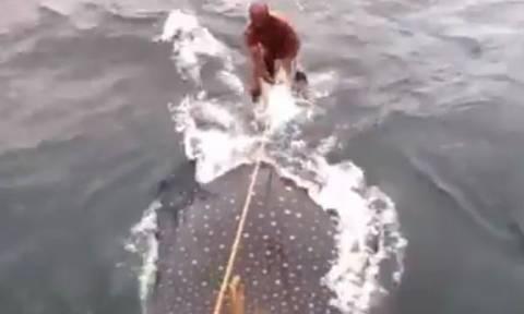 Βενεζουέλα: Έκαναν σερφ πάνω σε… καρχαρία-φάλαινα! (video)