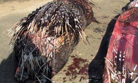 Το τελευταίο γεύμα: Πύθωνας έφαγε μέχρι… θανάτου σκαντζόχοιρο! (photos)