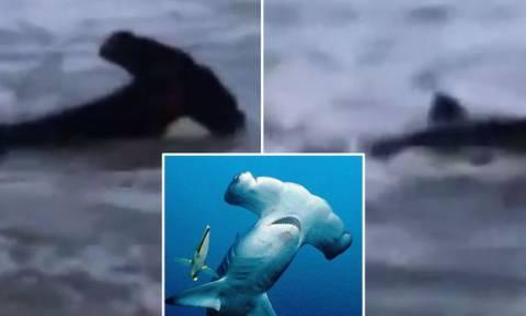 Πανικός στην παραλία: Σφυροκέφαλος καρχαρίας βγήκε στη στεριά! (video)