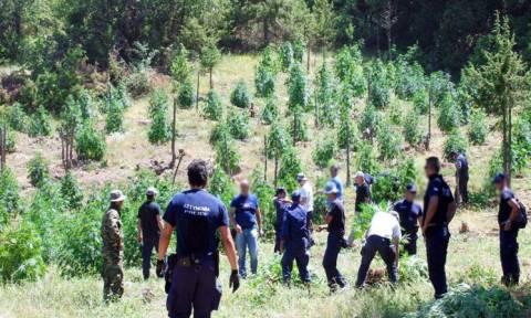 Ρέθυμνο: Το Τμήμα Δίωξης Ναρκωτικών εντόπισε φυτεία μεγάλη φυτεία κάνναβης