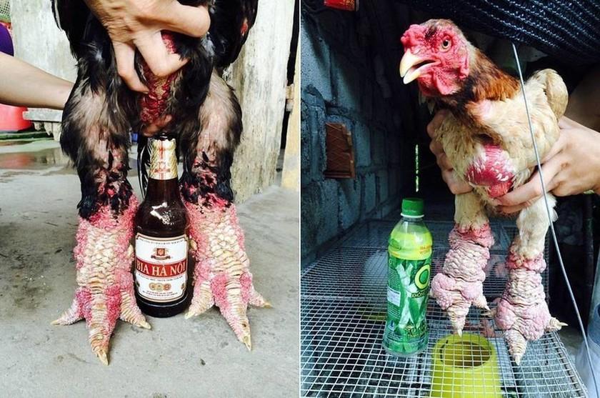 Κοτόπουλα… δράκοι που δεν θα ήθελες να συναντήσεις στο δρόμο σου (photos)