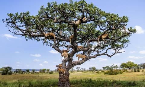 Τι είναι αυτό το δέντρο; Λιονταριά;  (photos)
