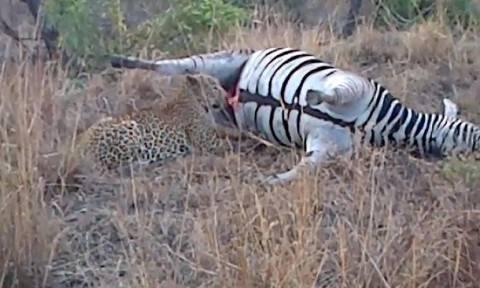 Η απρόσμενη εκδίκηση της νεκρής ζέβρας σε μια… λεοπάρδαλη! (video)