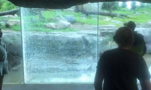Τρόμος στο ζωολογικό κήπο: Αρκούδα προσπάθησε να σπάσει το προστατευτικό τζάμι με… βράχο!