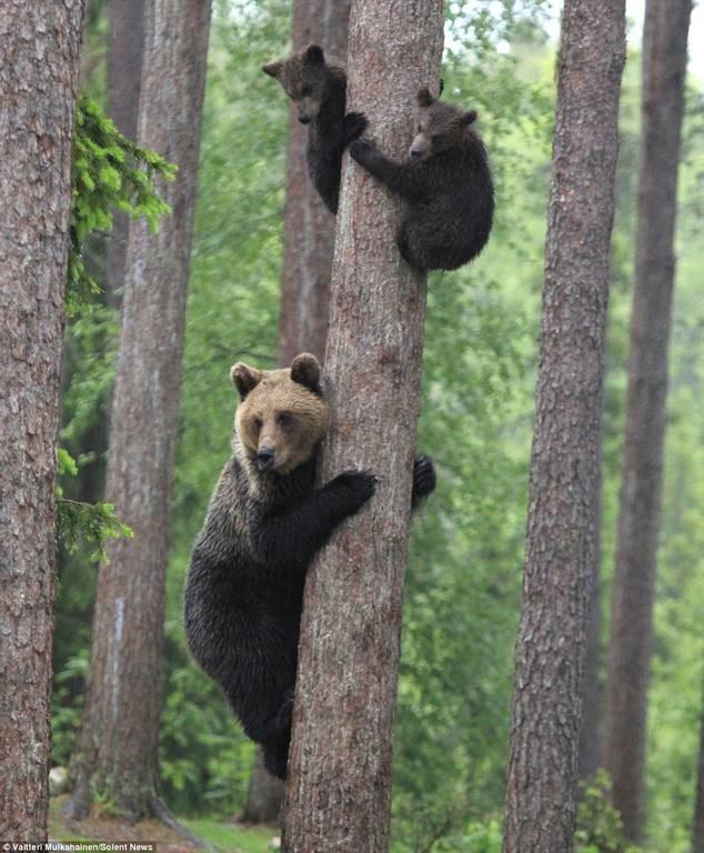 Αρκουδάκια σκαρφαλώνουν σε δέντρο για να σωθούν (photos)