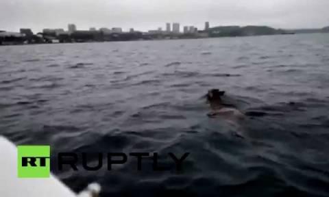 Ελάφι κολύμπησε ως το Βλαδιβοστόκ (video)