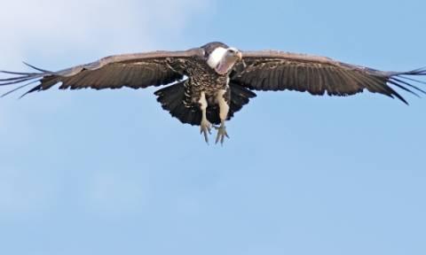 Κρήτη: Οκτώ γύπες επιστρέφουν στο φυσικό τους περιβάλλον