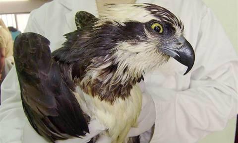 Ψαραετός εντοπίστηκε στον Έβρο πρώτη φορά εκτός μεταναστευτικής περιόδου