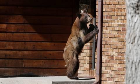 Αρκούδα διέρρηξε ζαχαροπλαστείο, έφαγε 24 τάρτες, πήρε δύο μαζί της κι έφυγε
