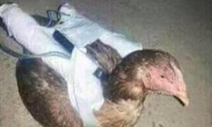 Το Ισλαμικό Κράτος χρησιμοποιεί... κότες ως «βομβιστές-αυτοκτονίας» (photos)