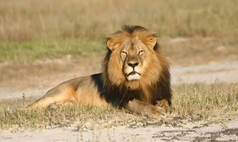 ΗΠΑ: Άρχισε η έρευνα για τον θάνατο του γνωστότερου λιονταριού της Ζιμπάμπουε, του Σέσιλ