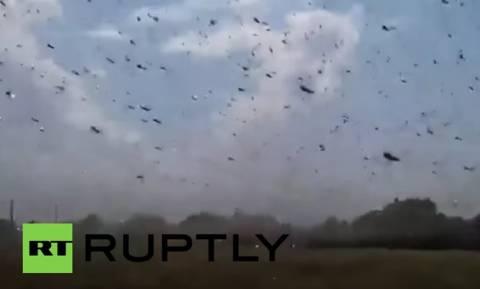 Σμήνη ακρίδων κατέκλυσαν τη Σταυρούπολη (video)