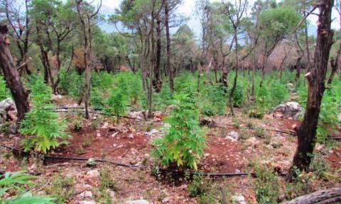 Φωκίδα: Εντοπίστηκε φυτεία κάνναβης με 1.300 δενδρύλλια (photos)