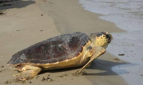 Νεκρή χελώνα καρέτα - καρέτα ξεβράστηκε στην Εύβοια (video)