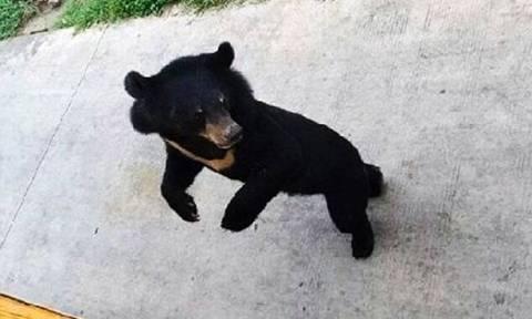 Τίγρεις κατασπαράζουν αρκουδάκι μέσα σε ζωολογικό κήπο (video)
