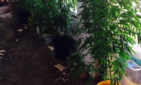 Χαλκίδα: Εντοπίστηκε φυτεία κάνναβης σε οικοδομή - Συνελήφθησαν οι καλλιεργητές (photos)