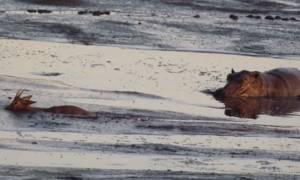 Σκληρό βίντεο: Ιπποπόταμος εντοπίζει μικρή αντιλόπη που κόλλησε στη λάσπη