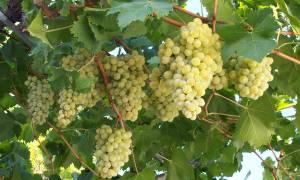 Ο δήμος Ηρακλείου ζητά την εκτίμηση των ζημιών στις αμπελοκαλλιέργειες και ενίσχυση από τον ΕΛΓΑ