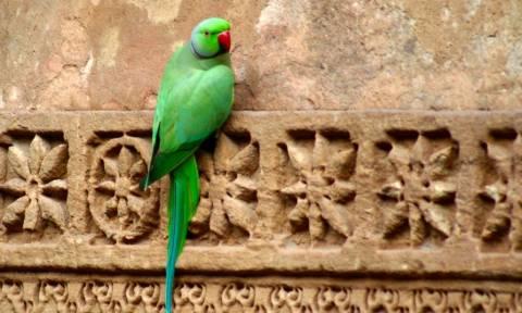 Ινδία: Παπαγάλος συνελήφθη γιατί έβριζε