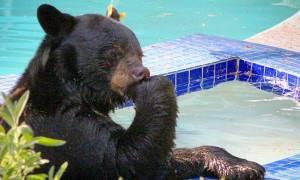 Αρκούδα που ξέρει από καλή ζωή: «Κατάληψη» σε πισίνα για λίγη χαλάρωση (video)