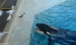 Φάλαινα - όρκα σε ρεσιτάλ επιδεξιότητας: Δείτε τι κάνει για να ξεγελάσει το θύμα της (video)