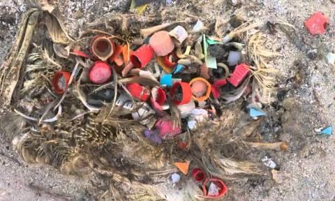 Τα θαλασσοπούλια κινδυνεύουν από τη μόλυνση των ωκεανών με πλαστικά απόβλητα