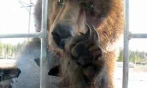 Η απρόσμενη αντίδραση Αμερικανού όταν έπιασε στα πράσα μια... αρκούδα στην κουζίνα του! (video)