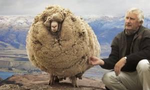 Σρεκ - Το ατίθασο πρόβατο που κρυβόταν 6 χρόνια για να μην το κουρέψουν (pics+vid)