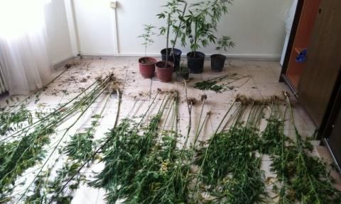Πτολεμαΐδα: Εντοπίστηκε φυτεία κάνναβης μέσα σε καλλιέργεια καλαμποκιού