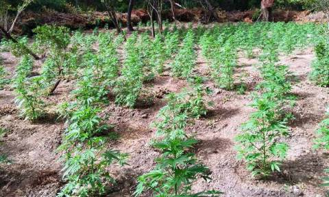 Κορινθία: Εντοπίστηκε φυτεία κάνναβης με 1.300 δενδρύλλια (photos&vid)
