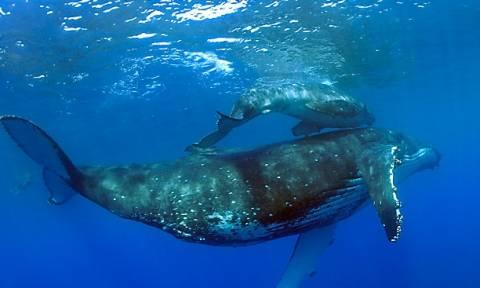Δυο τεράστιες φάλαινες κάνουν σεξ on air! (video)