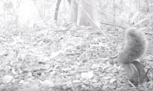 «Συνελήφθη» ο σκίουρος… βαμπίρ που αφαίμαξε ολόκληρο ελάφι! (video)