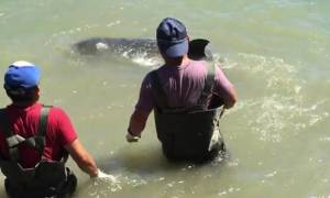 Σπάει καρδιές: Δελφίνι «εκλιπαρεί» και πέφτει στα βράχια για να σωθεί από τους κυνηγούς του! (video)