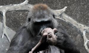 Σπαρακτικό: Μητέρα γορίλας αρνείται να αφήσει το νεκρό μωράκι της (video+photos)