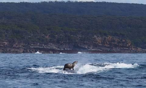 Αυτή η φώκια «σερφάρει» πάνω στη ράχη μιας φάλαινας! (photos)