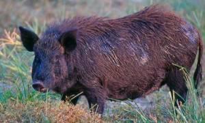 Ιωάννινα: Κτηνοτρόφος δέχθηκε επίθεση από αγριογούρουνο