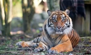Τίγρης επιτέθηκε και σκότωσε εργαζόμενη σε ζωολογικό κήπο
