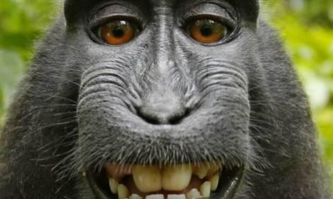 Μαϊμού μηνύει φωτογράφο για τα δικαιώματα της selfie της